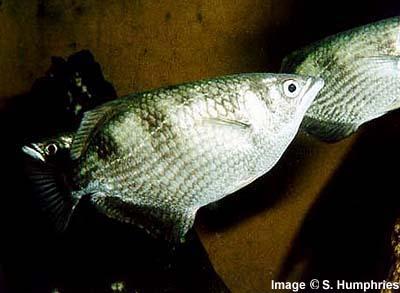 Banded Archerfish, Sea Animals, Sea fishes, Deep sea fishes, Deep sea ...