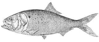 Deep sea faq what are menhaden menhaden fish deep sea for Menhaden fish meal