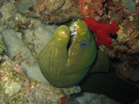 Moray eel peering out from its coral home