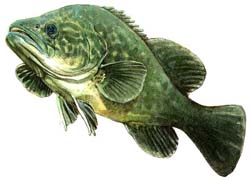 Murray Cod, Deep sea animals, Fishes, Sea fish, Deep sea creatures