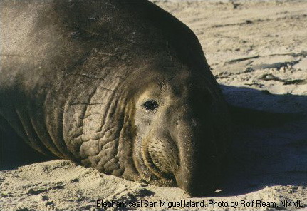 Northern Elephantseal