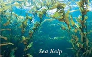 Kelp- Underwater sea plants, Marine plants