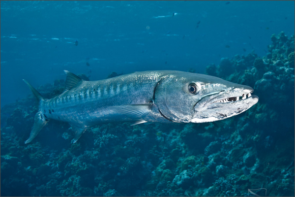 Image of: Classification Kingdom Animalia Order Perciformes Diet Any Fish available In Its Habitat Average Length 21 69 Ft Average Width 30 Cm 12 In Pinterest Dangerous Fishes Deep Sea Waters News Underwater Animals